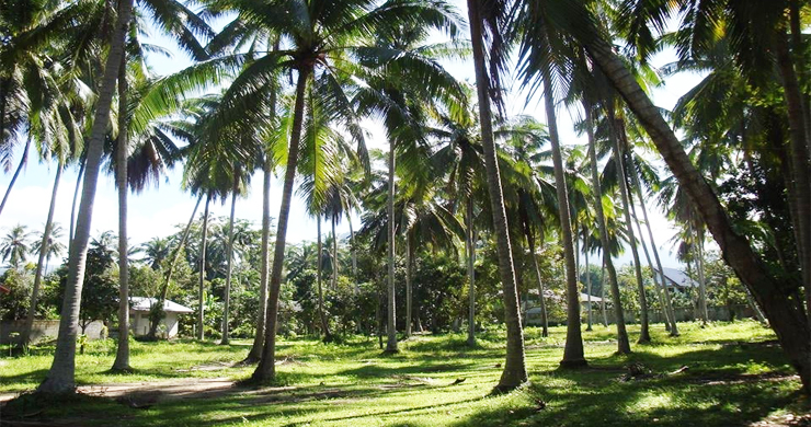 Charming Flat Coconut Land Plot for Sale in Lipa Noi-1