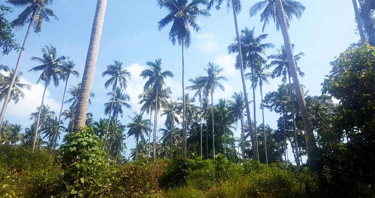 Affordable Flat Land for Sale in Peaceful Part of Lamai-6